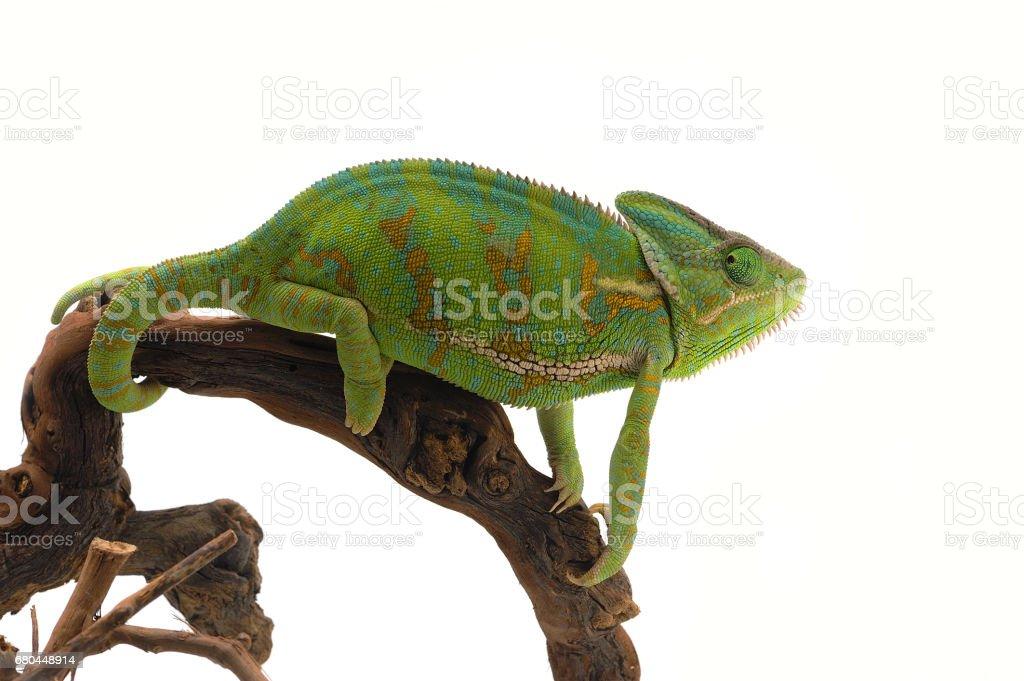 Veiled chameleon isolated on white background stock photo