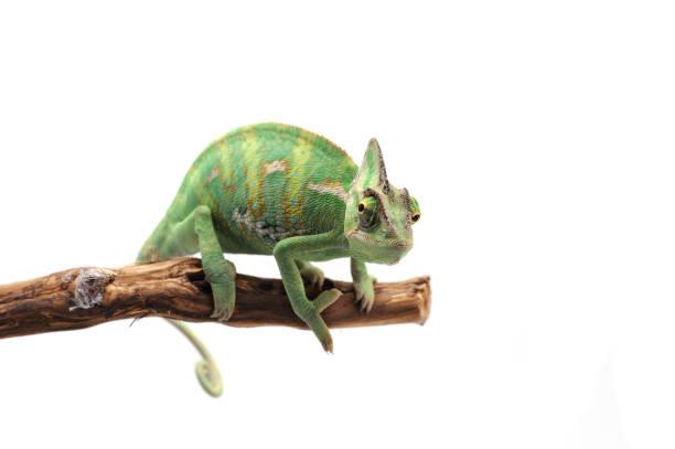 veiled chameleon isolated on white background - kameleon zdjęcia i obrazy z banku zdjęć