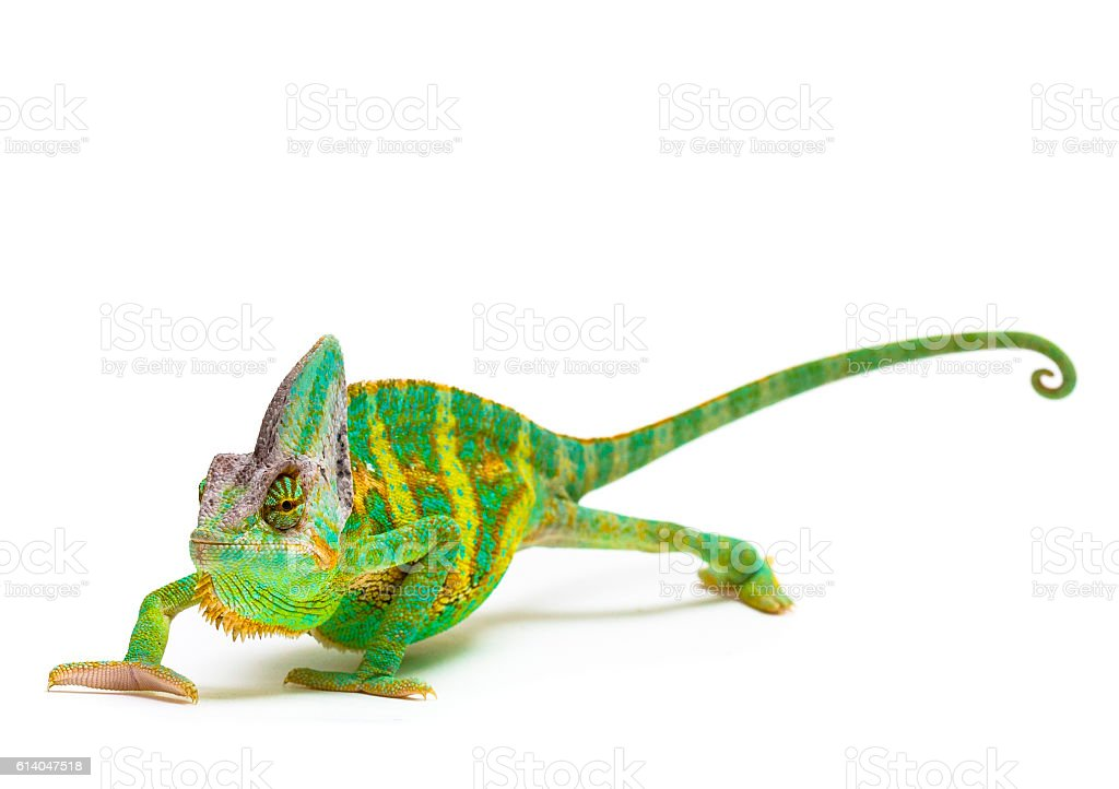 Veiled chameleon stock photo