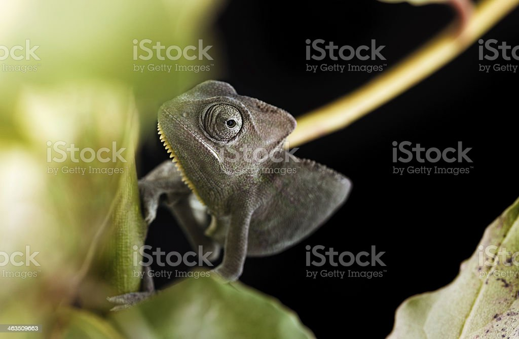 Veiled chameleons royalty-free stock photo