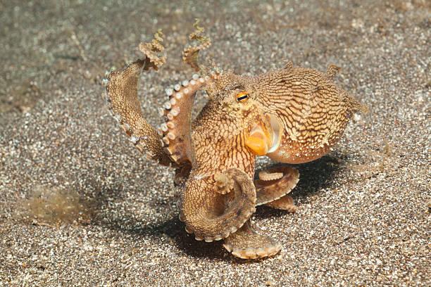 Veined Octopus Oct. marginatus, near Manado, North Sulawesi, Indonesia stock photo
