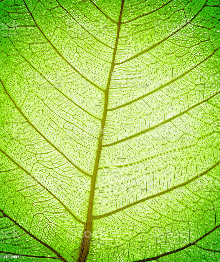Veins in part of a dead leaf skeleton stock photo