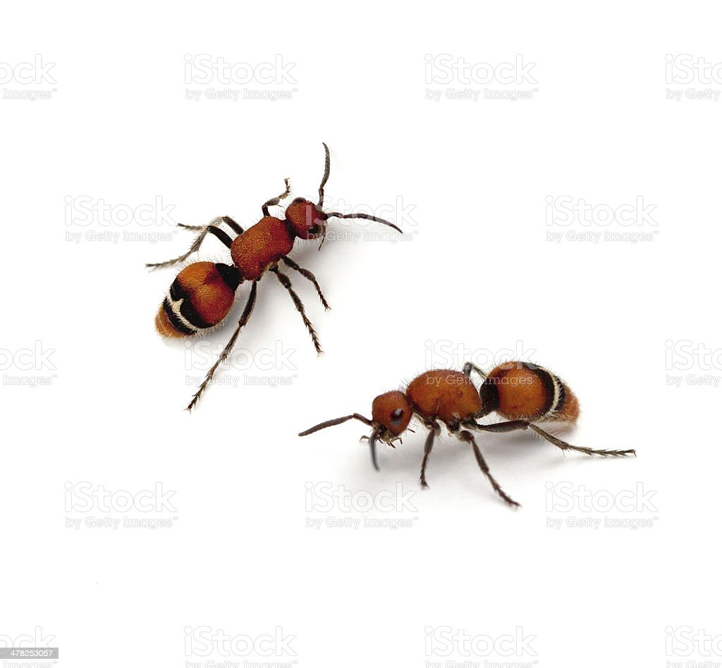 Velvet Ant royalty-free stock photo