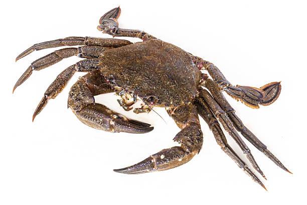 Velvet crab stock photo