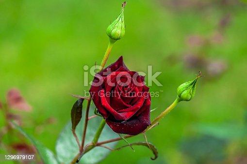wet velvet rose with water drops