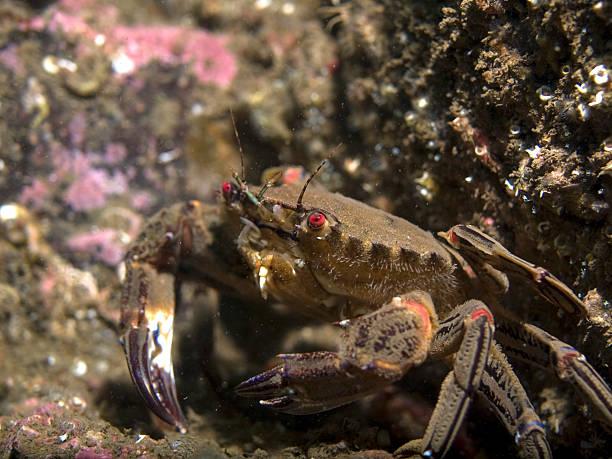velvet swimming crab close up stock photo