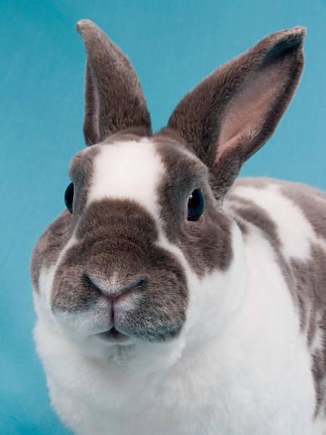 velveteen bunny nahaufnahme - plüschhase stock-fotos und bilder