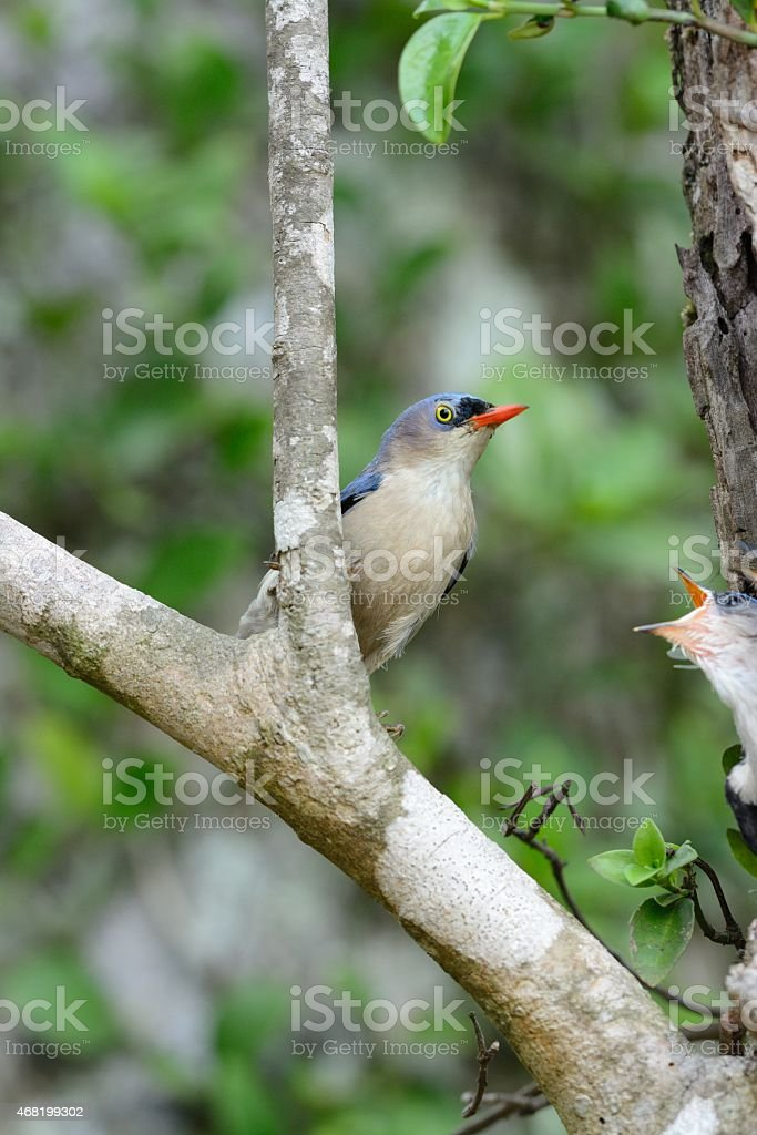 Velvet-fronted Nuthatch (Sitta frontalis) stock photo