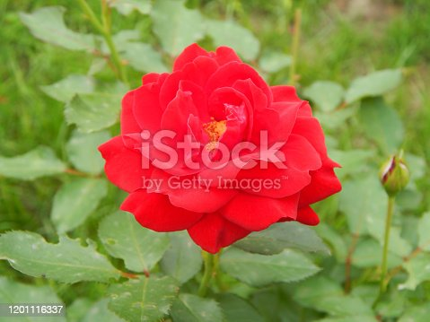 velvety red fully exploded tea roses blooming in late spring