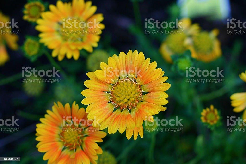 Velvia flowers royalty-free stock photo