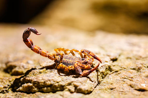 venezuelan red scorpion (tityus discrepans) in defensive position - scorpion stock photos and pictures