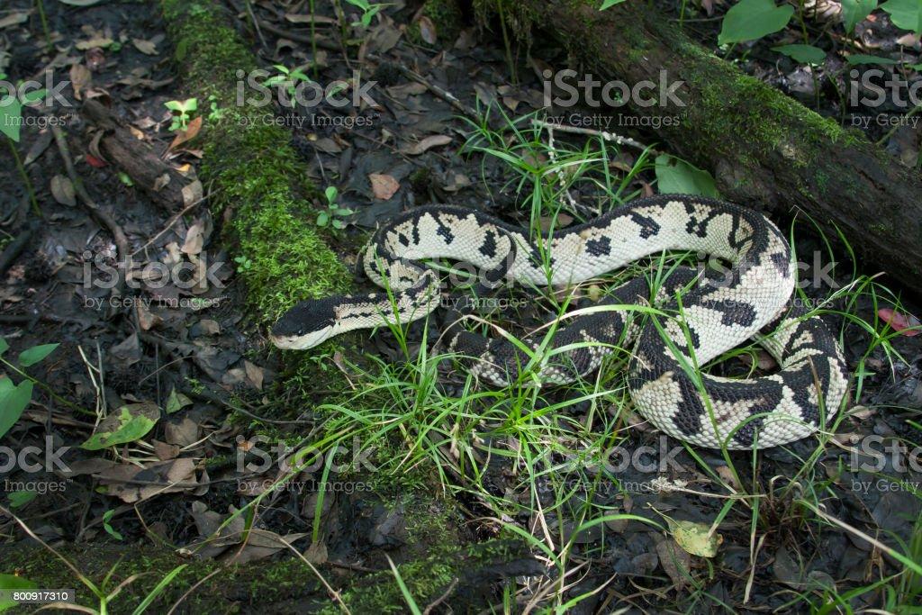 Venomous Black-headed Bushmaster Snake (Lachesis melanocephala) in Rainforest royalty-free stock photo