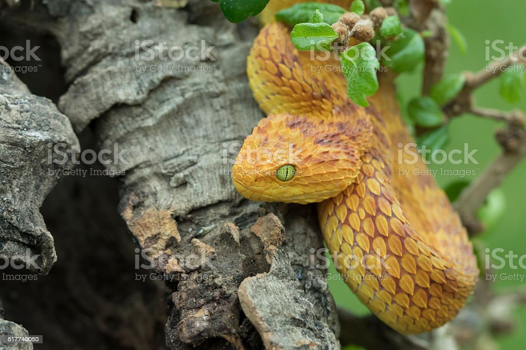 Venomous Bush Viper Snake in Tree stock photo
