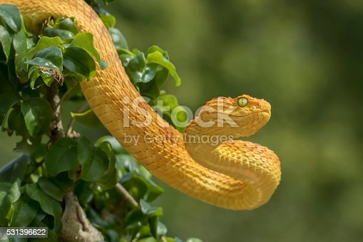 Female Venomous Bush Viper Snake - Orange Phase (Atheris squamigera)