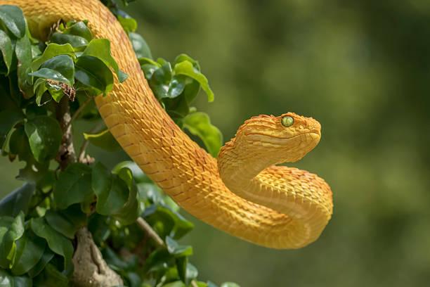Venomous Bush Viper Snake - Orange Phase stock photo