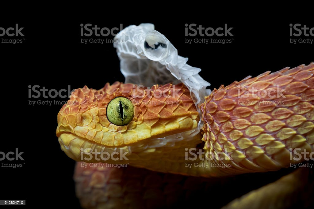 Venomous Bush Viper Snake Shedding his Skin stock photo