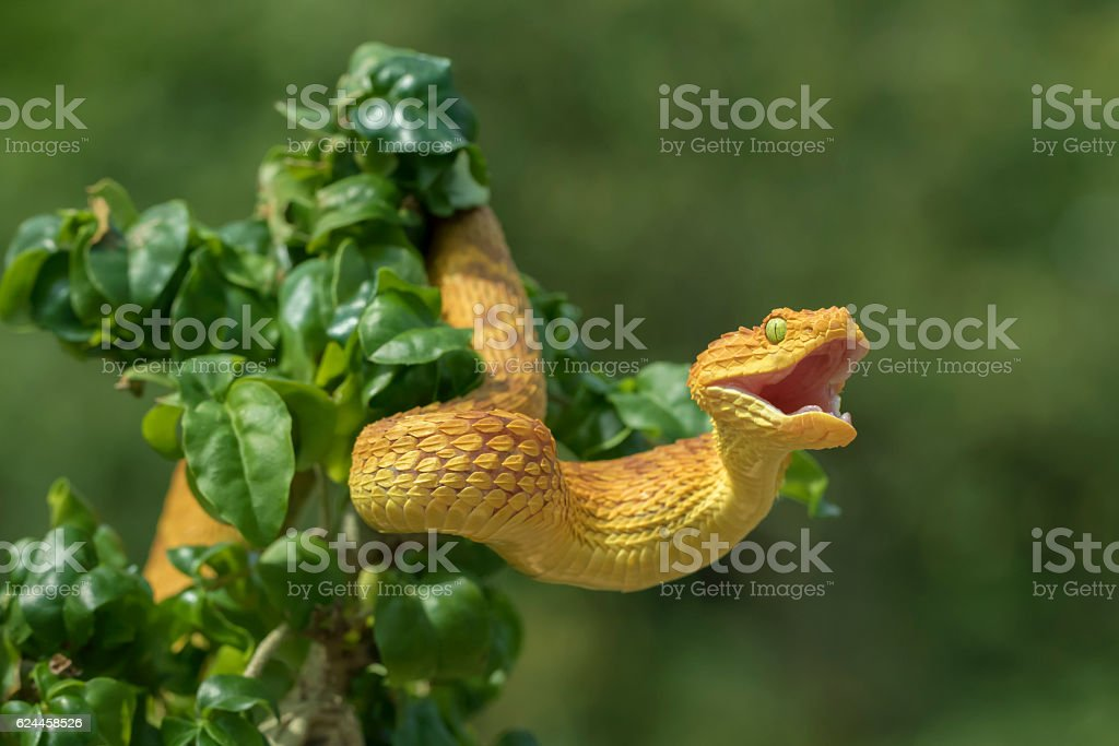Venomous Bush Viper Snake Showing Aggression stock photo