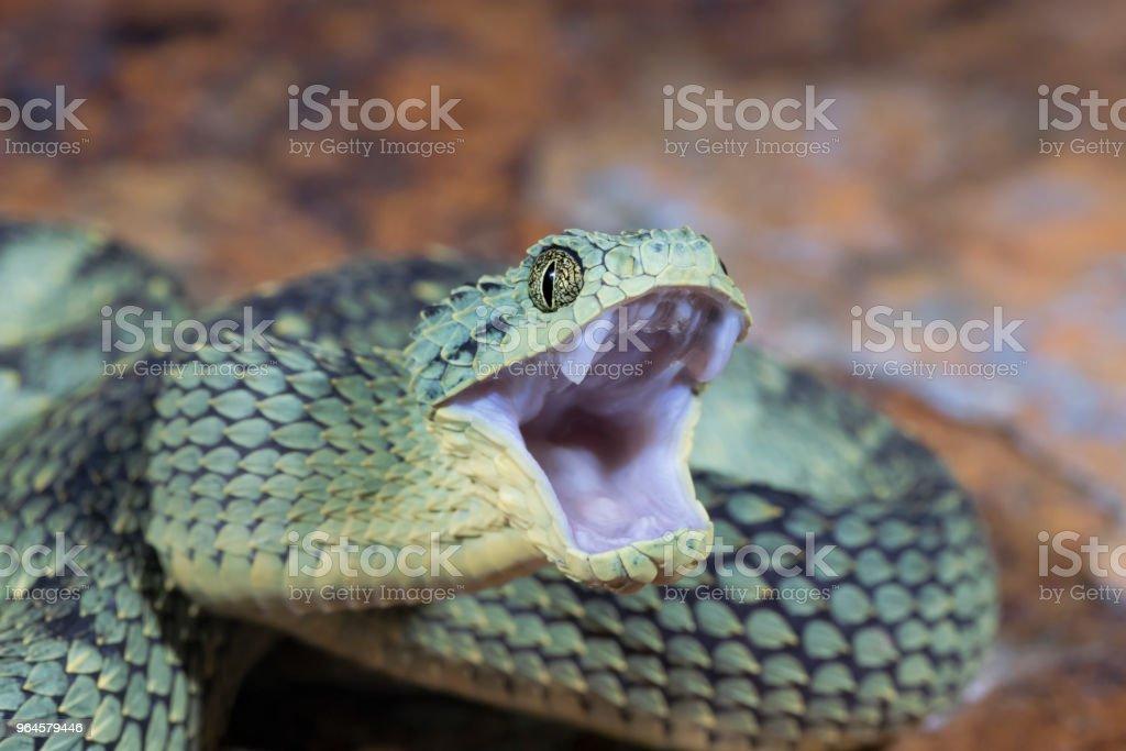Venomous Bush Viper Snake with Open Mouth royalty-free stock photo