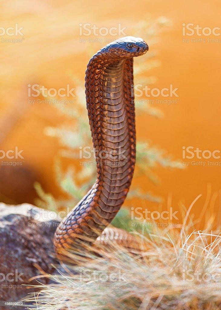 Venomous Cobra On Rock stock photo