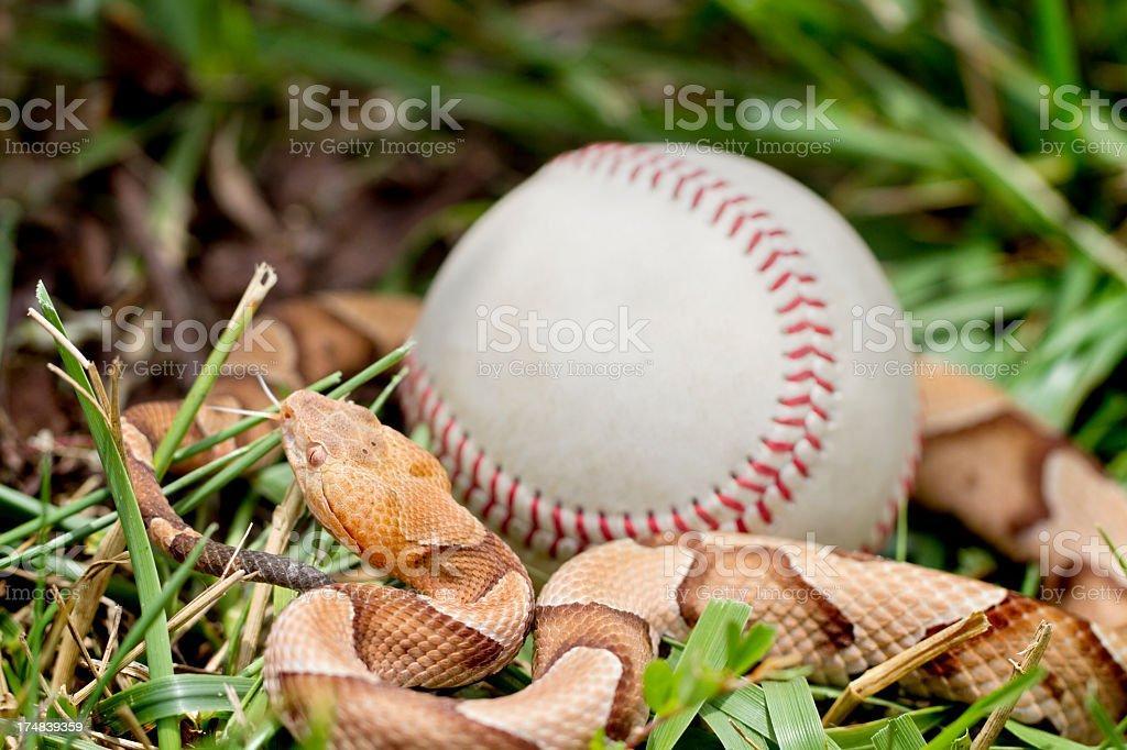 Venomous Copperhead Snake around Baseball stock photo