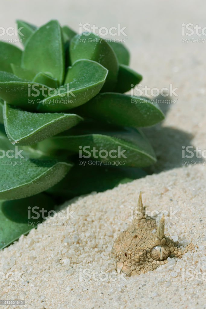 Venomous Desert Horned Viper Hiding in the Sand stock photo