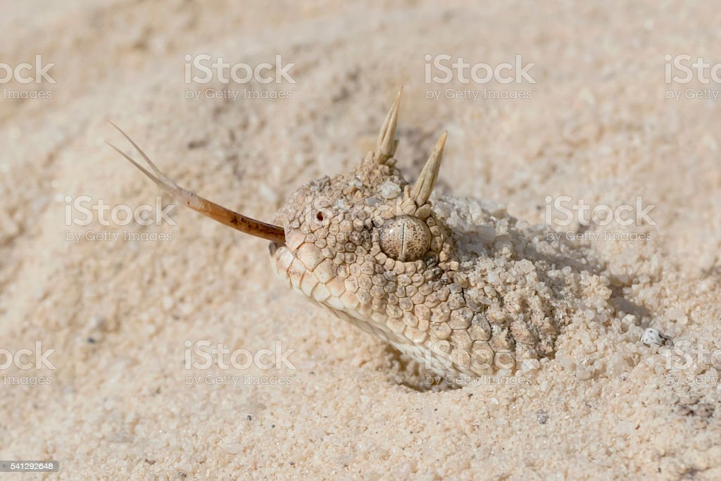 Venomous Desert Horned Viper Snake Emerging from the Sand stock photo