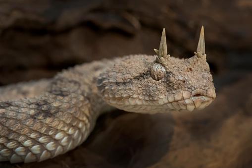 Venomous Desert Horned Viper (Cerastes cerastes) Snake