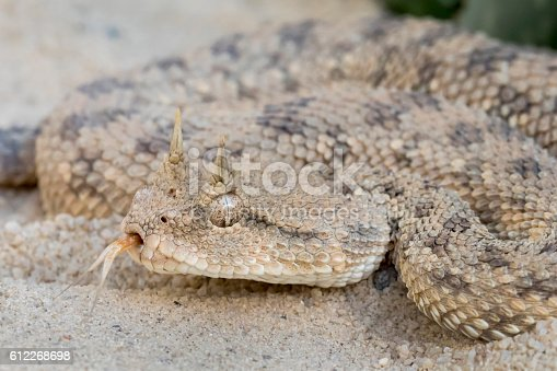 Venomous Desert Horned Viper (Cerastes cerastes) Snake with Forked Tongue
