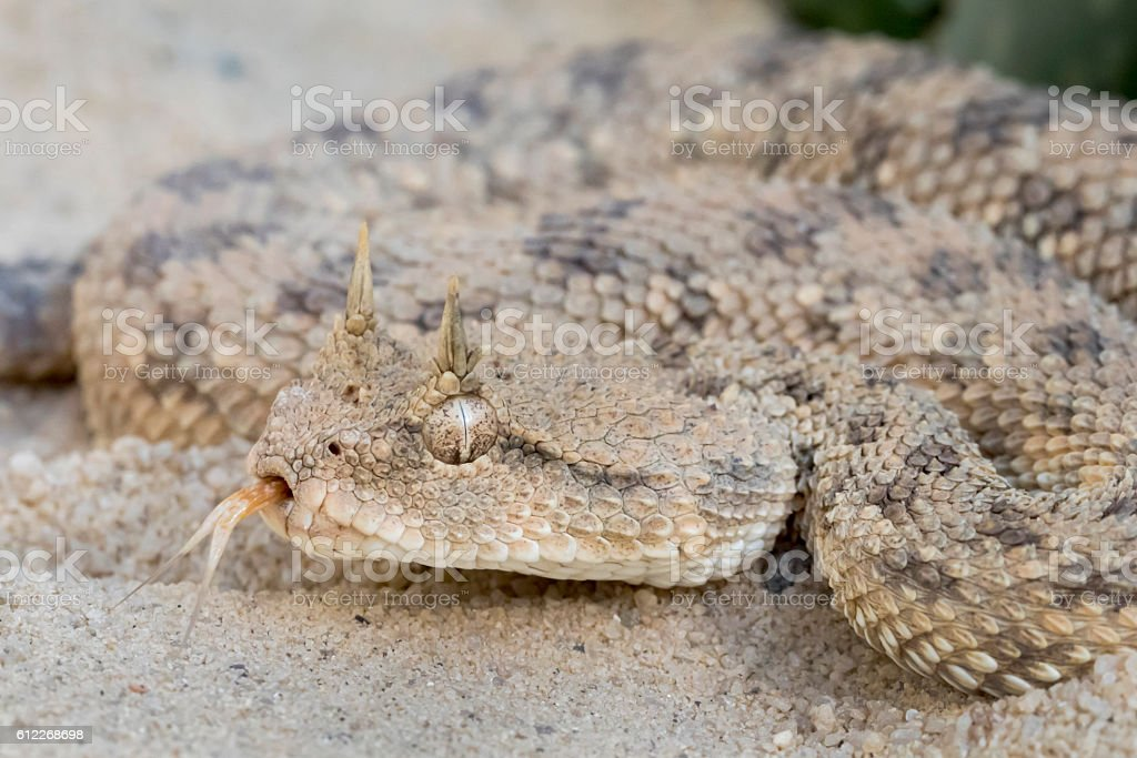 Venomous Desert Horned Viper Snake with Forked Tongue stock photo
