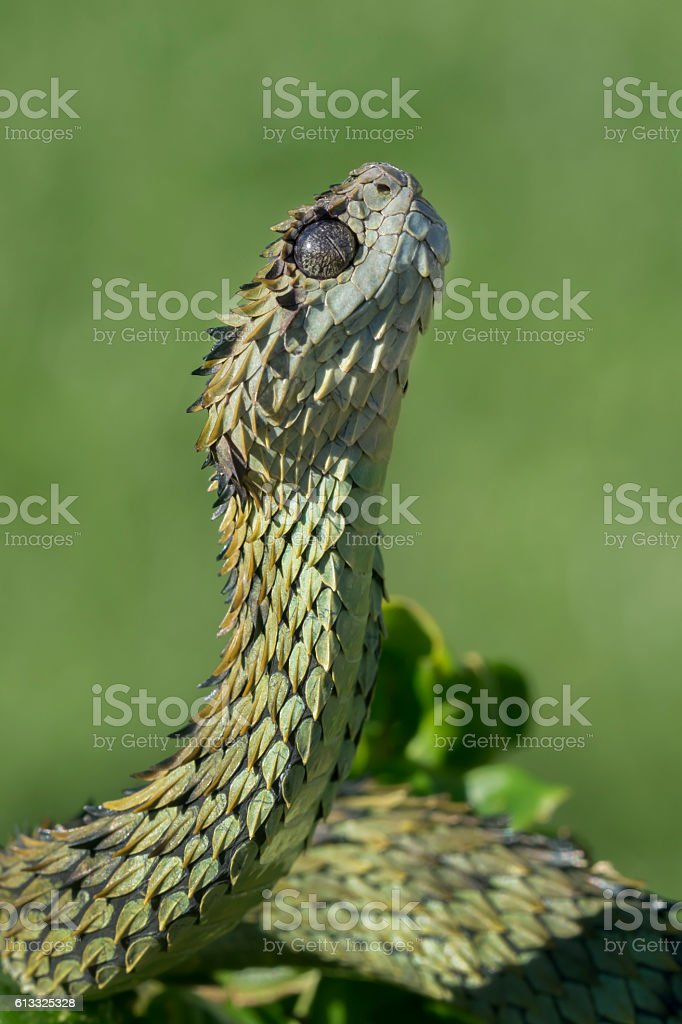 Venomous Hairy Bush Viper Snake Looking Straight Up - foto de stock