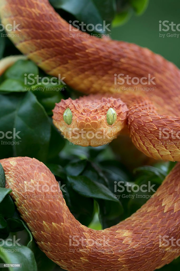Venomous Red Bush Viper Snake Ready To Strike Stock Photo