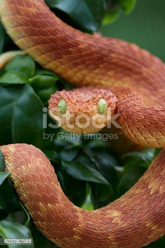 Venomous Bush Viper Snake Ready to Strike (Atheris squamigera) Red Variation - Male