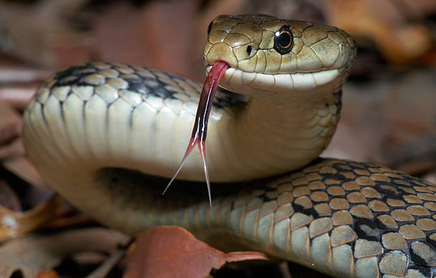 venomous snake - poisonous stock pictures, royalty-free photos & images
