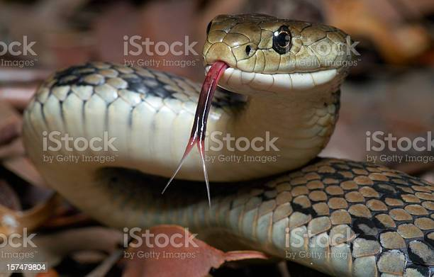 The venomous Australian Rough Scaled Snake with it's forked tongue out.  This is one of the most dangerous snakes and reptiles in the world.  Photographed completely in the wild.