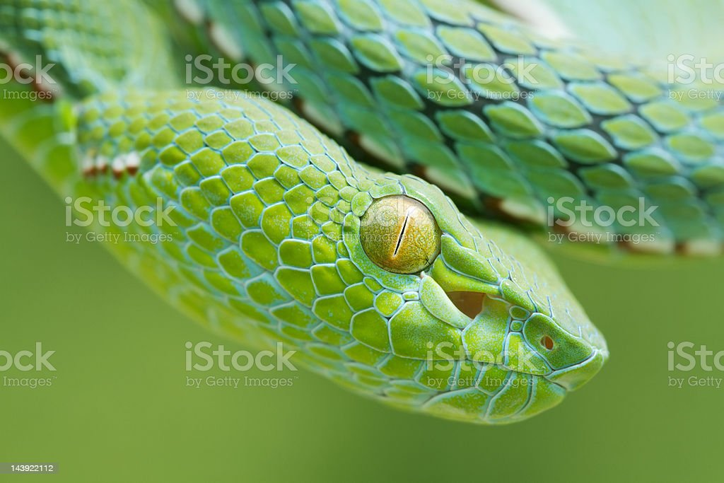 Venomous Vogel's Pit Viper Snake stock photo