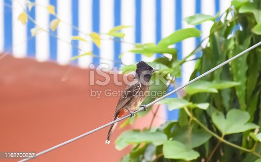 1153034372istockphoto Vented Bulbul ( Pycnonotidae) or red ass bird, beautiful and very small passerine birds, spot in a electrical wire. Bulbul, Myna, Sparrow, Pigeon and Babbler are most common birds in Indian cities. 1162700237