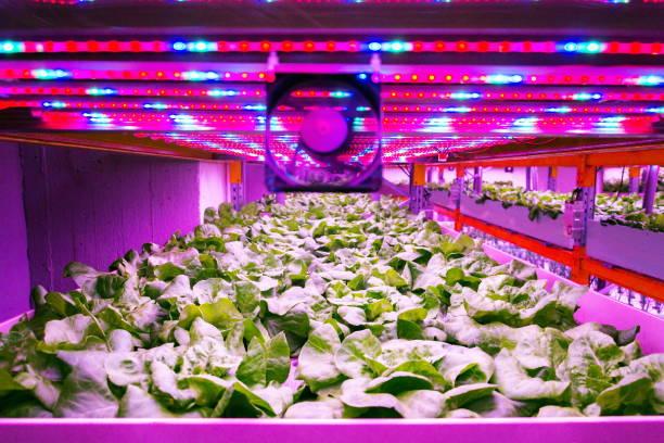 Ventilator und spezielle LED-Leuchtengürtel über Salat im Aquaponiksystem, das Fischaquakultur mit Hydroponik kombiniert, Pflanzen im Wasser unter künstlicher Beleuchtung anbaut, drinnen – Foto