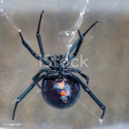 Ventral view of female western black widow spider, Latrodectus hesperus, on portion of typical tangle web.