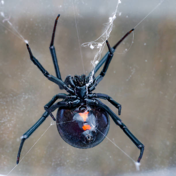 ventral side of black widow spider stock photo