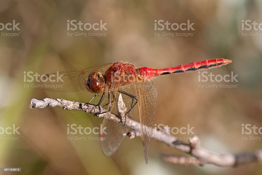 Ventral View of Red Darter Dragonfly stock photo