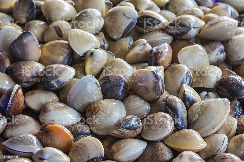 Venus clam stock photo
