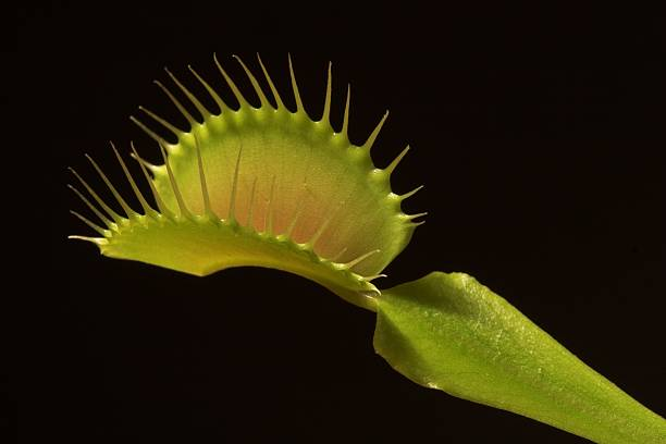 Venus Fly Trap (Dionaea Muscipula) Close-up picture of a carnivorous plant isolated on black background carnivorous stock pictures, royalty-free photos & images
