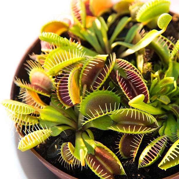 Venus fly trap Venus fly trap in a pot. Dionaea muscipula, carnivorous plant. carnivorous stock pictures, royalty-free photos & images