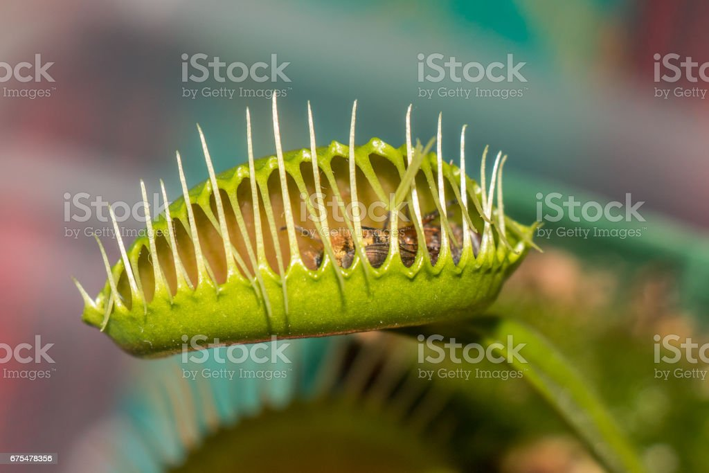 Vénus fly trap photo libre de droits