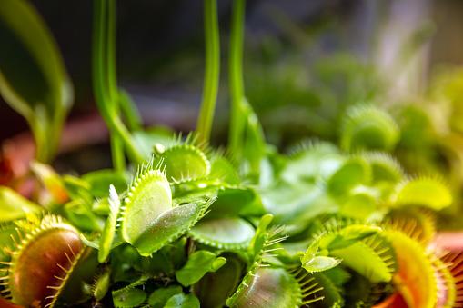 Venus flytrap carnivorous plant. Dionaea Muscipula close-up view