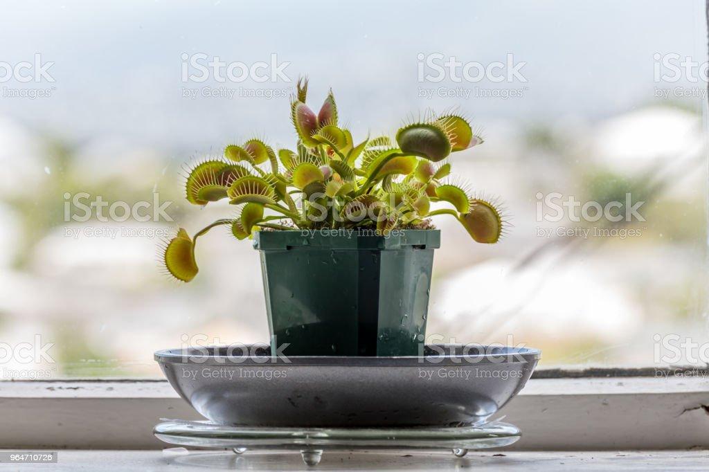 Venus flytrap (Dionaea muscipula), carnivorous plant royalty-free stock photo