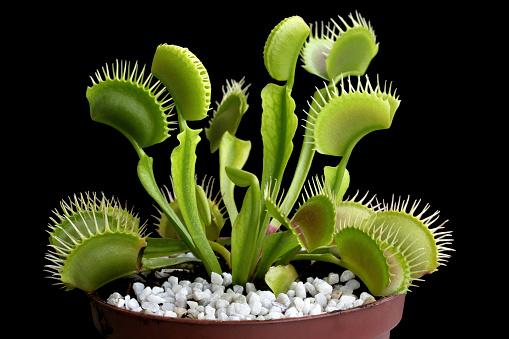 Venus Flytrap In A Pot Isolated On Black Stock Photo - Download Image Now