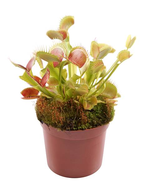 Venus Flytrap (Dionaea) in a pot Venus Flytrap (Dionaea) in a pot on a white background carnivorous stock pictures, royalty-free photos & images