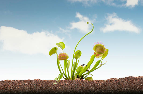 Venus Flytrap in soil and sky Photo in grass soil and sky with clipping path around black part of photo carnivorous stock pictures, royalty-free photos & images