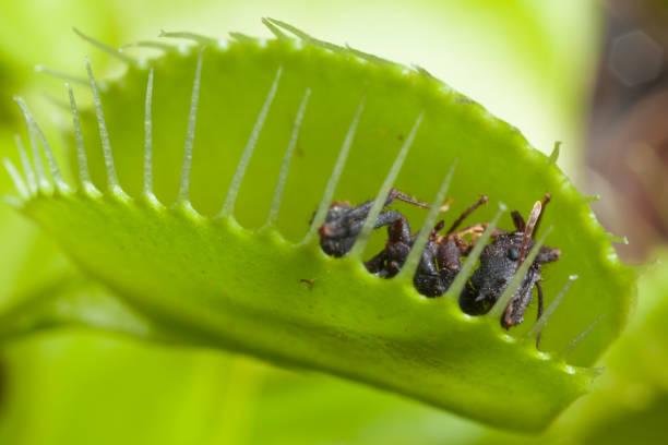 Venus flytrap leaf eating fly stock photo